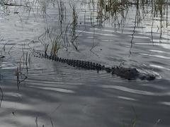 Gator, Everglades